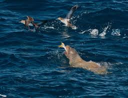Lobos_marinos_Sea_lion_california_BCS_Mexico