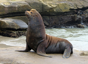 Lobo_Marino_Macho_Posando_Sea_lion_BCS_Mexico